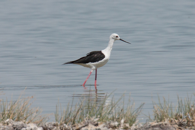 Black-winged stilt in Etosha National Park, Namibia.