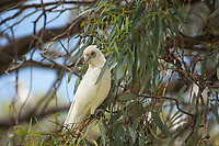 A little corella perches in a gum tree in South Australia's Riverland.
