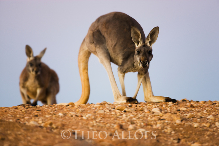 Australia,  NSW, Sturt National Park; red kangaroo female and joey on ridge at dusk (Macropus rufus); the red kangaroo population increased dramatically after the recent rains in the previous 3 years following 8 years of drought