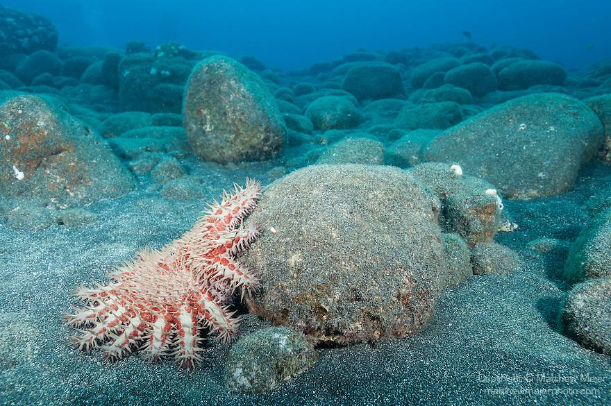 Kona, Big Island of Hawaii, Hawaii; a crown-of-thorns sea star moving around rocks on the ocean floor