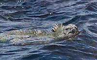 Marine iguanas are one of the iconic species of the Galapagos Islands.  Every day they enter the ocean to find food, usually aquatic plants growing underwater.