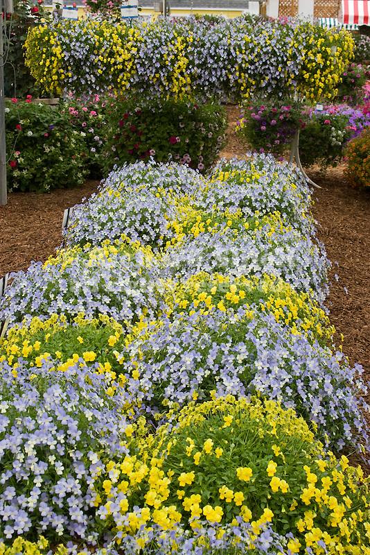 Display of Violina Blue and White and Violina Yellow Violets