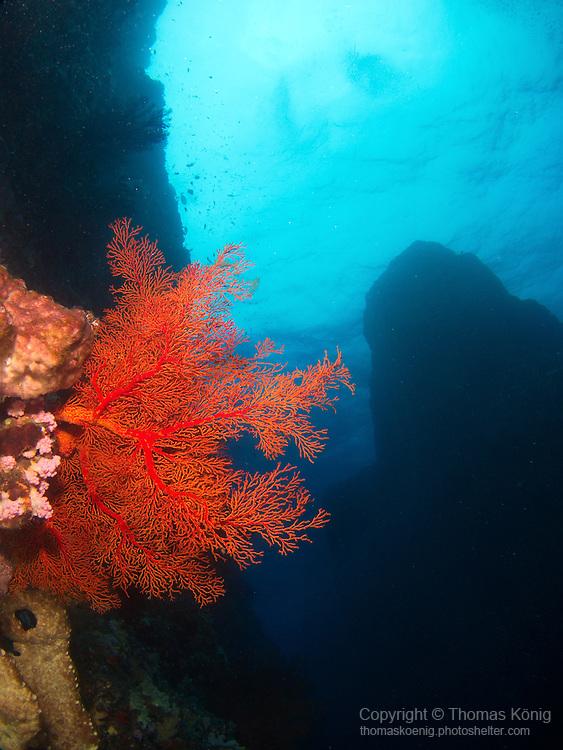 Da Xia Gu ('Grand Canyon'), Green Island -- Coral fan at the side wall of the canyon.