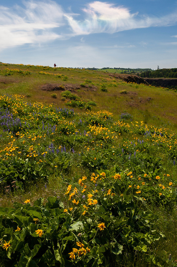 "A man walks along a trail lined with balsamroot and lupine flowers as an iridescent circumhorizontal arc forms overhead in the clouds, commonly referred to as a ""fire rainbow""."