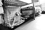 BEACON, NEW YORK: A dog in the Puppies Behind Bars program rests in cage in a prisoner's cell at Fishkill Correctional Facility. The program works with prison inmates in New York, New Jersey, and Connecticut to train service dogs, including ones who help injured soldiers or those suffering from post-traumatic stress. The puppies live with the prisoners during a 18-20-month training process.