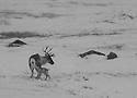 Wild reindeer, Villrein, Simle med kalv, kalv, young reindeer,spring, vår, mountain,snow,snø Home decor,