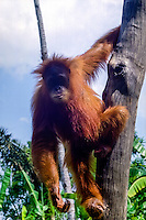 Indonesia, Sumatra. Medan. The old Medan Zoo, now moved to e new location. Orangutan.