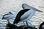 Ile Kangourou au sud d'Adelaide.Pelicans australiens