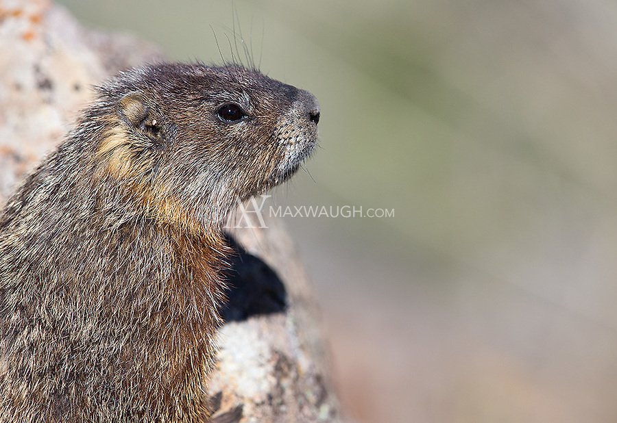 A juvenile yellow-bellied marmot looks out over a hillside.