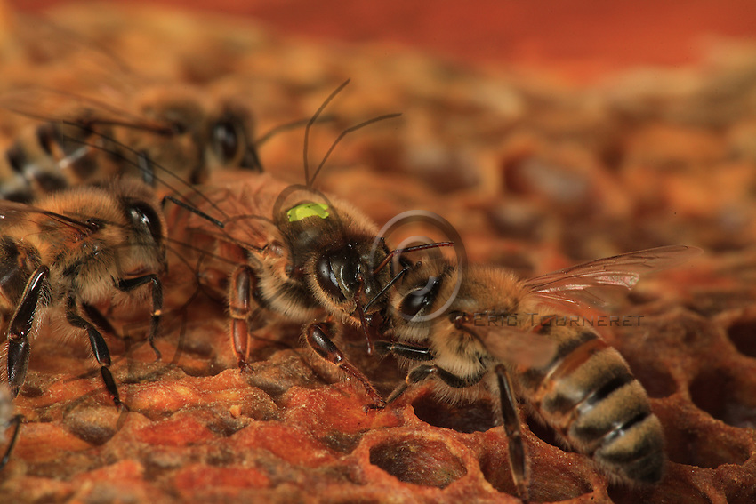 A queen moves on a frame with her daughters looking for honey. Her head has developed madibles. Her thorax is larger than that of ordinary bees and the abdomen, which contains fully developed genital organs, is very developed. It can double in size during the laying period.