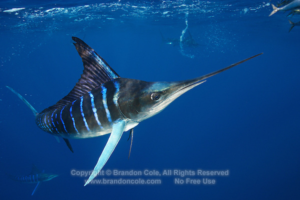 qf3004-D. Striped Marlin (Tetrapturus audax), feeding on Pacific Sardines (Sardinops sagax). Baja, Mexico, Pacific Ocean..Photo Copyright © Brandon Cole. All rights reserved worldwide.  www.brandoncole.com..This photo is NOT free. It is NOT in the public domain. This photo is a Copyrighted Work, registered with the US Copyright Office. .Rights to reproduction of photograph granted only upon payment in full of agreed upon licensing fee. Any use of this photo prior to such payment is an infringement of copyright and punishable by fines up to  $150,000 USD...Brandon Cole.MARINE PHOTOGRAPHY.http://www.brandoncole.com.email: brandoncole@msn.com.4917 N. Boeing Rd..Spokane Valley, WA  99206  USA.tel: 509-535-3489