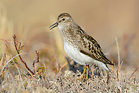 Least Sandpiper (Calidris minutilla) announcing its terrritory with its song from the ground. Yukon Delta National Wildlife Refuge. May.