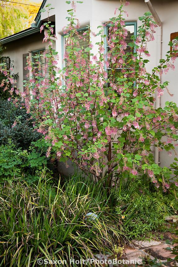 California currant Ribes sanguineum v. glutinosum flowering shrub in native plant front yard drought tolerant garden, Santa Barbara, spring