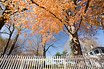 Maple tree and white fence, CT, USA