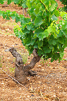 Prieure de St Jean de Bebian. Pezenas region. Languedoc. Vines trained in Gobelet pruning. Vine leaves. Old, gnarled and twisting vine. Old Grenache grape vine. Terroir soil. France. Europe. Vineyard. Sand.