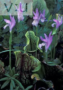 Dragon's Mouth Orchid flowers with Pitcher Plants in a bog environment ,Arethusa bulbosa,, Eastern North America.