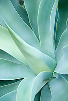 Spain, Canary Islands, La Palma, Agave attenuata
