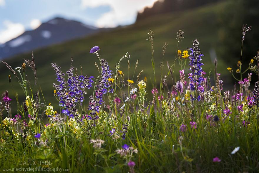 Alpine meadow in flower. Austrian Alps, Austria, Nordtirol, 1700 metres altitude, June