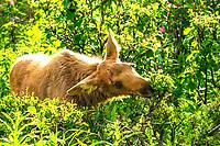 A baby moose throws a glance as it feeds near Kenai, Alaska.
