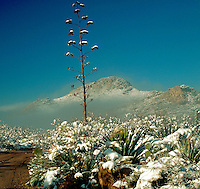An Agave (Century Plant) rises above desert plants accented with snow as fog rolls into the Dos Cabezas Mountain canyon. Arizona.
