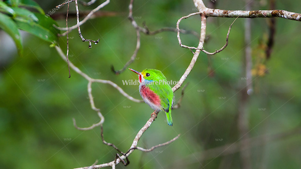 A Cuban Tody (Todus multicolor), perched, hunting for insects. Guanahacabibes , Cuba.