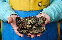 BNPS.co.uk (01202) 558833. <br /> Pic: ZacharyCulpin/BNPS<br /> <br /> Oyster gatherer Christopher Ranger shows off the Cornish oyster.<br /> <br /> The Lone Ranger - A concerned oyster fisherman is crowdfunding to set up his very own 'micro-hatchery' in a bid to restore the UK's dwindling stocks of the shellfish.<br /> <br /> Chris Ranger, 44, currently runs Britain's last surviving oyster fishery on the River Fal in Mylor Churchtown, Cornwall.<br /> <br /> The site has been a hotbed for oyster activity for thousands of years but they are now on the brink of vanishing after years of overfishing.