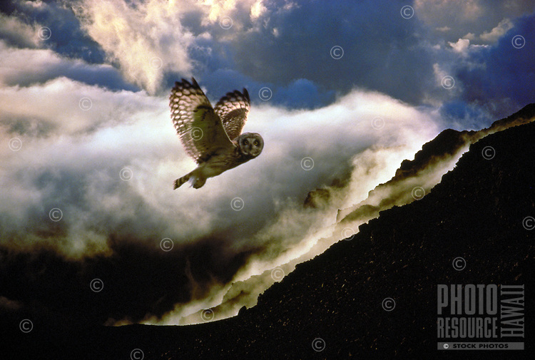 Pueo, Hawaiian short eared owl