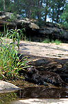 Mink, Mustela vison,  Mother and 10 week old young by small pool, captive .USA....