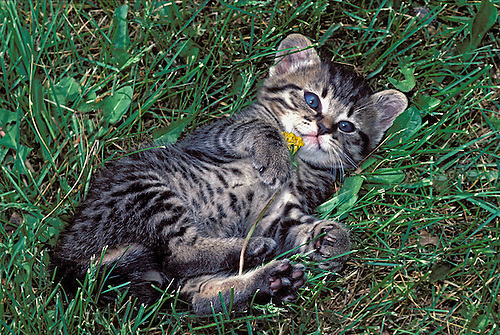Grey tabby kitten playing with dandelion in grass, Midwest USA