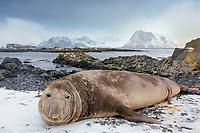 South Georgia Island, Prion Island, Southern elephant seal (Mirounga leonina) bull