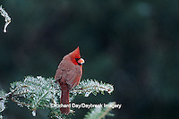 01530-05502 Northern Cardinal (Cardinalis cardinalis) male in fir tree with ice on its bill  in winter Marion Co.  IL
