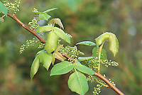 Poison Ivy<br /> Toxicodendron radicans<br /> with flower buds<br /> New Jersey