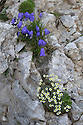 Fairy's Thimble {Campanula cochleariifolia} UPPER and Saxifraga squarrosa LOWER, growing on limestone cliff face. Triglav National Park, Julian Alps, 2000m, Slovenia. July.