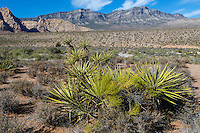 Red Rock Canyon, Nevada.  Mojave Yucca (Yucca Schidigera).  Keystone Thrust in background, showing La Madre Mountain.