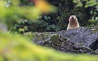 This spirit bear managed to catch of number of live salmon from a stream. Good eating!