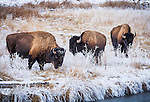 Yellowstone National Park, WY: <br /> American Bison (Bison bison), or American Buffalo covered with morning frost