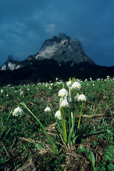Spring Snowflakes, Leucojum vernum, blooming with Mythen Mountains in background, Schwyz, Switzerland, April 1995