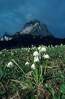 Spring Snowflakes, Leucojum vernum, blooming with Mythen Mountains in background, Schwyz, Switzerland, April 1995