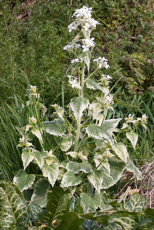 Lunaria annua 'Alba Variegata' Variegated honesty in white flower