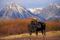 "BULL MOOSE.  The name 'moose"" is derived from the Algonkian name that means ""eater of twigs"".  Autumn. Rocky Mountains..Grand Teton National Park, Wyoming. U.S.A. (Alces alces)."