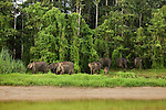 Borneo Pygmy Elephant (Elephas maximus borneensis) herd along river in secondary lowland rainforest, Kinabatangan River, Sabah, Borneo, Malaysia