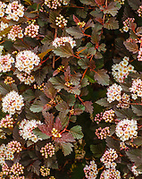 The Common Ninebark shrub blossoms at the Morton Arboretum in Spring, DuPage County, Illinois