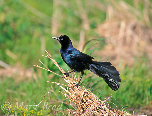 Boat-tailed Grackle (Quiscalus major) male showing boat-shaped tail, Sabine National Wildlife Refuge, Louisiana, USA<br /> Slide # B163-1801