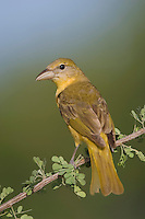 Summer Tanager, Piranga rubra, female on Catclaw (Acacia greggii), Willacy County, Rio Grande Valley, Texas, USA