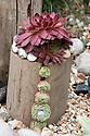"House leeks (Sempervivums) in ""Coastal Drift"" show garden, designed by Susan Willmott and Adele Ford, Hampton Court Flower Show 2012."