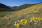 Arrowleaf Balsam flowers blanket the hillside leading to spectacular mountain view of the Spanish Peaks in the Gallatin National Forest of SW Montana, 20 minutes from Bozeman Montana.