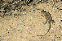 Female side-blotched lizard, Uta stansburiana, Red Rock Canyon State Park, California
