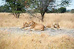 Lion Family Resting on Moremi Animal Reserve in Botswana in Africa