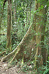 Buttress Roots of Tree,Tropical forest, Mantadia National Park, Andasibe, Madagascar