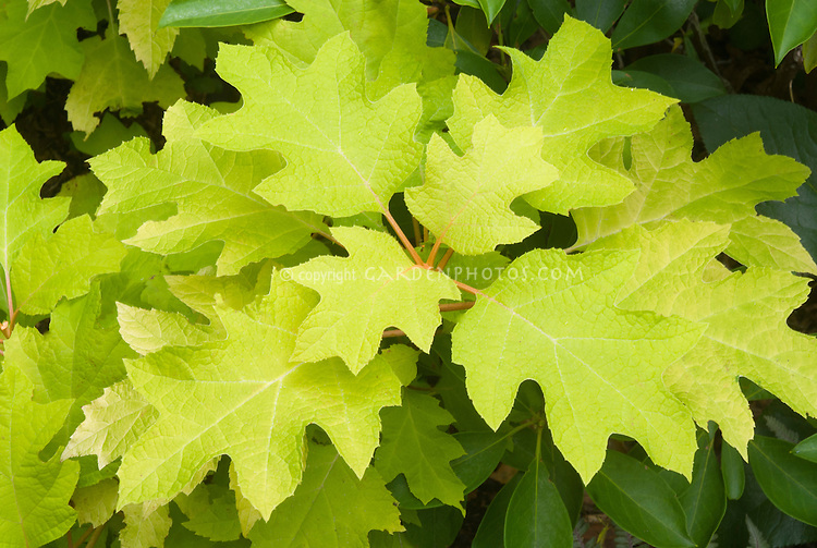 Hydrangea quercifolia 'Little Honey' yellow foliage oakleaf hydrangea shrub